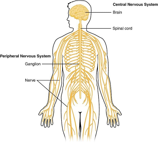Central peripheral nervous systems
