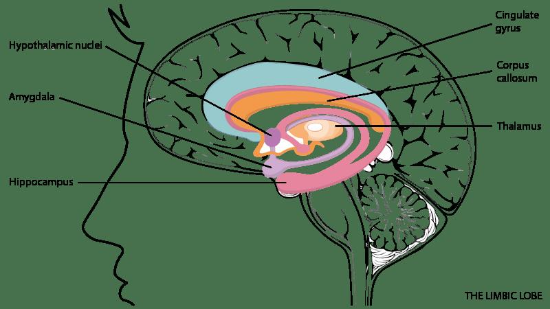 limbic lobe