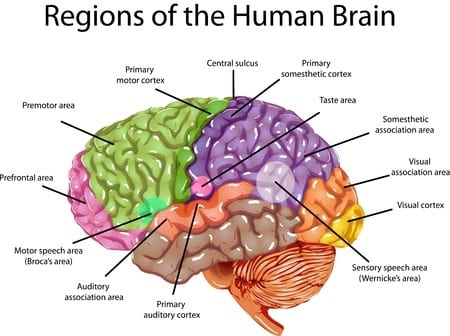 the brain regions