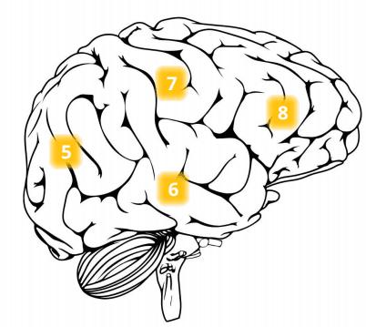 occipital, temporal, parietal and frontal lobes